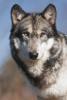 wolfy.png
