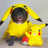Halloween 2019, 09 - Fear of dogs (Pikachu-dog-costume-Ninja-the-Frenchie).png