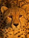 golden cheetah.jpg