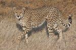 tanzanian cheetah.jpg