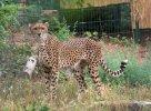 sudan cheetah.jpg