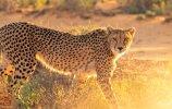south african cheetah.jpg