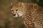 Northwest African Cheetah.jpg