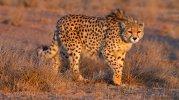 Asiatic Cheetah.jpg