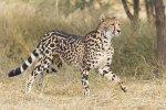 king cheetahh.jpg