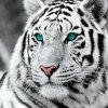 white-tiger-blue-eyes-b-w-i25520.jpg