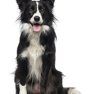 Border-Collie_Vital-Stats_Petplan.jpg